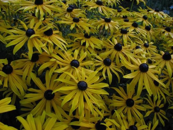 Prächtiger Garten-Sonnenhut - Rudbeckia fulgida var sullivantii ´Goldsturm`